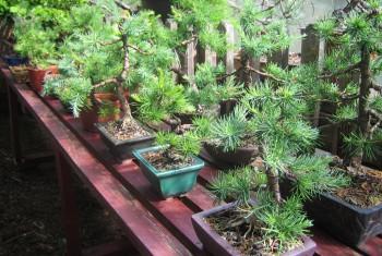 Garten Bonsiaregal 1