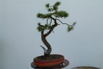 Pinus Mungo 1