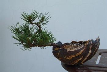 Pinus Mungo 2