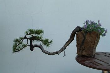 Pinus Mugo Kaskade